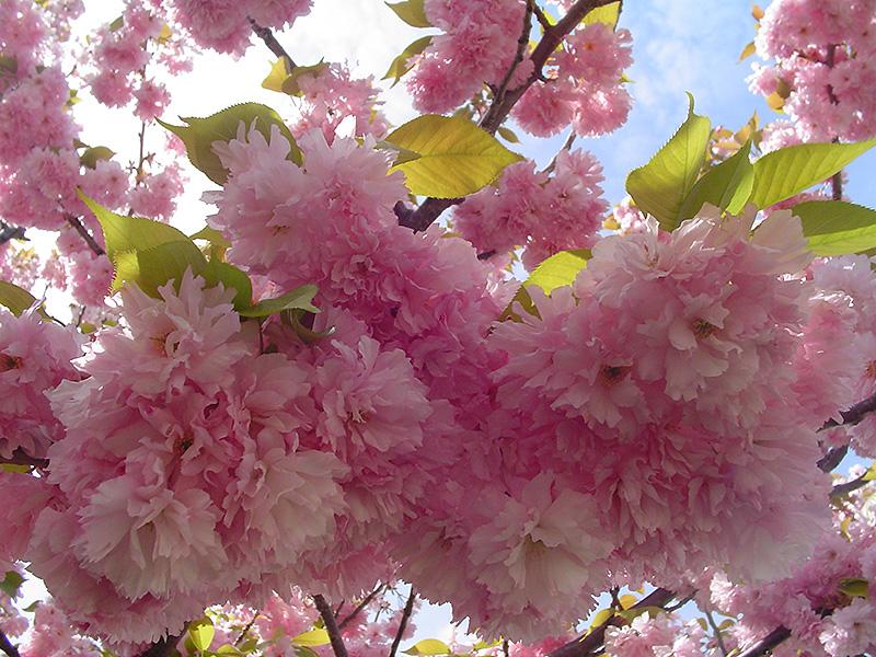 Kwanzan Flowering Cherry Prunus Serrulata Kwanzan In Salt Lake City Utah Ut At Millcreek Gardens