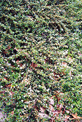 Spreading Cotoneaster (Cotoneaster divaricatus) at Millcreek Gardens