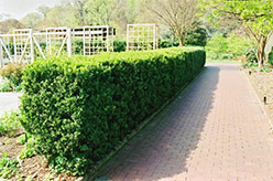 Common Boxwood (Buxus sempervirens) at Millcreek Gardens