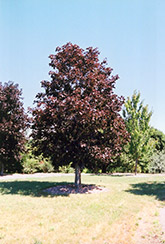 Royal Red Norway Maple (Acer platanoides 'Royal Red') at Millcreek Gardens