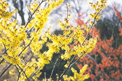 Arnold Promise Witchhazel (Hamamelis x intermedia 'Arnold Promise') at Millcreek Gardens