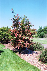 Crimson Cloud English Hawthorn (Crataegus laevigata 'Superba') at Millcreek Gardens