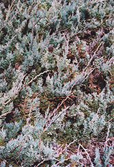 Alpine Creeping Juniper (Juniperus horizontalis 'Alpina') at Millcreek Gardens