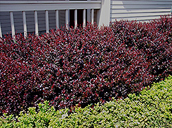 Crimson Ruby Barberry (Berberis thunbergii 'Criruzam') at Millcreek Gardens