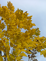 Golden Candle Golden Rain Tree (Koelreuteria paniculata 'Gocanzam') at Millcreek Gardens