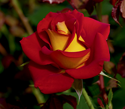 Ketchup And Mustard Rose (Rosa 'WEKzazette') at Millcreek Gardens