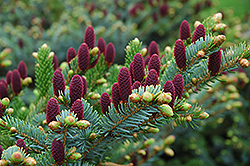 Red Cone Spruce (Picea abies 'Acrocona') at Millcreek Gardens