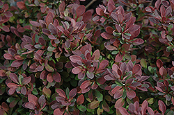 Royal Burgundy Japanese Barberry (Berberis thunbergii 'Gentry') at Millcreek Gardens