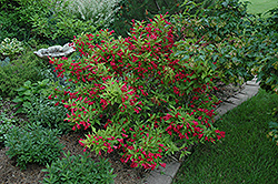 Red Prince Weigela (Weigela florida 'Red Prince') at Millcreek Gardens