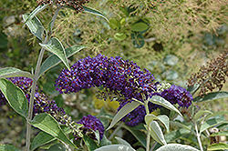 Adonis Blue™ Butterfly Bush (Buddleia davidii 'Adokeep') at Millcreek Gardens