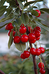 Evans Cherry (Prunus 'Evans') at Millcreek Gardens