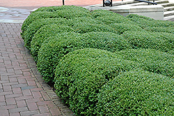Chicagoland Green Boxwood (Buxus 'Glencoe') at Millcreek Gardens