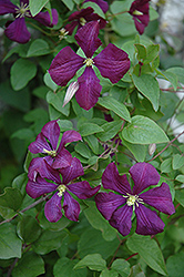 Etoile Violette Clematis (Clematis 'Etoile Violette') at Millcreek Gardens