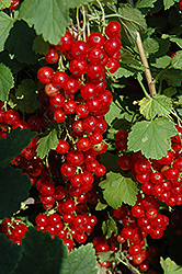 Red Lake Red Currant (Ribes sativum 'Red Lake') at Millcreek Gardens