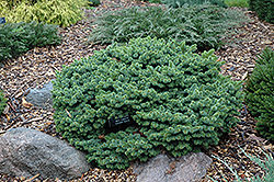 Mrs. Cesarini Blue Spruce (Picea pungens 'Mrs. Cesarini') at Millcreek Gardens