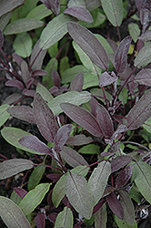 Purple Sage (Salvia officinalis 'Purpurascens') at Millcreek Gardens