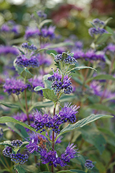 Dark Knight Caryopteris (Caryopteris x clandonensis 'Dark Knight') at Millcreek Gardens