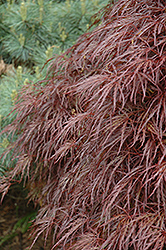 Red Select Cutleaf Japanese Maple (Acer palmatum 'Dissectum Red Select') at Millcreek Gardens