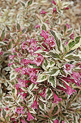 My Monet® Weigela (Weigela florida 'Verweig') at Millcreek Gardens
