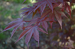 Moonfire Japanese Maple (Acer palmatum 'Moonfire') at Millcreek Gardens