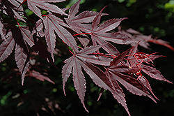 Crimson Prince Japanese Maple (Acer palmatum 'Crimson Prince') at Millcreek Gardens