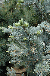 Candicans White Fir (Abies concolor 'Candicans') at Millcreek Gardens