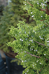 Hollywood Juniper (Juniperus chinensis 'Torulosa') at Millcreek Gardens