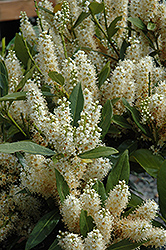 Dwarf English Laurel (Prunus laurocerasus 'Nana') at Millcreek Gardens
