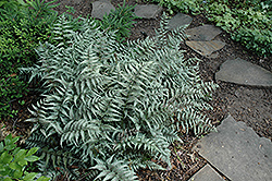 Japanese Painted Fern (Athyrium goeringianum) at Millcreek Gardens