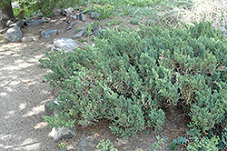 San Jose Juniper (Juniperus chinensis 'San Jose') at Millcreek Gardens
