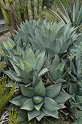 Parry's Agave (Agave parryi) at Millcreek Gardens