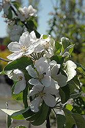 Cortland Apple (Malus 'Cortland') at Millcreek Gardens