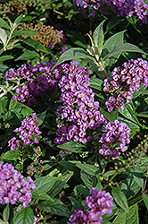 Lo And Behold® Purple Haze Dwarf Butterfly Bush (Buddleia 'Lo And Behold Purple Haze') at Millcreek Gardens