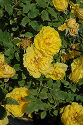 Persian Yellow Rose (Rosa 'Persian Yellow') at Millcreek Gardens