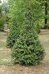 Castle Spire® Meserve Holly (Ilex x meserveae 'Hachfee') at Millcreek Gardens
