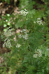 Caraway (Carum carvi) at Millcreek Gardens