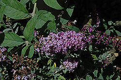 Lo And Behold® Lilac Chip Dwarf Butterfly Bush (Buddleia 'Lo And Behold Lilac Chip') at Millcreek Gardens