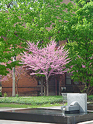 Eastern Redbud (tree form) (Cercis canadensis '(tree form)') at Millcreek Gardens