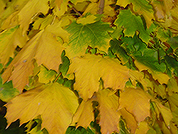 Columnar Norway Maple (Acer platanoides 'Columnare') at Millcreek Gardens