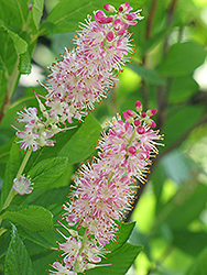 Ruby Spice Summersweet (Clethra alnifolia 'Ruby Spice') at Millcreek Gardens