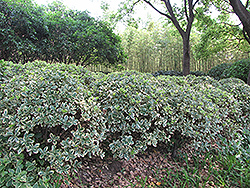 Silver King Euonymus (Euonymus japonicus 'Silver King') at Millcreek Gardens