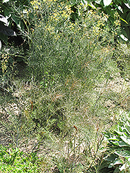 Bronze Fennel (Foeniculum vulgare 'Purpureum') at Millcreek Gardens