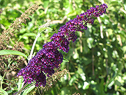 Black Knight Butterfly Bush (Buddleia davidii 'Black Knight') at Millcreek Gardens