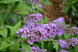 Lo And Behold® Blue Chip Dwarf Butterfly Bush (Buddleia 'Lo And Behold Blue Chip') at Millcreek Gardens
