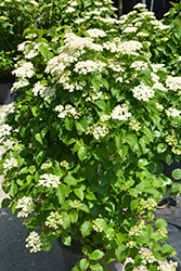 Autumn Jazz Viburnum (Viburnum dentatum 'Ralph Senior') at Millcreek Gardens