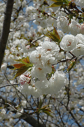 Mt. Fuji Flowering Cherry (Prunus serrulata 'Shirotae') at Millcreek Gardens