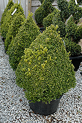 Green Mountain Boxwood (pyramid form) (Buxus 'Green Mountain (pyramid)') at Millcreek Gardens