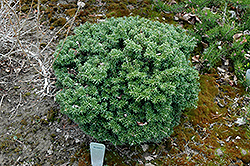 Cis Dwarf Korean Fir (Abies koreana 'Cis') at Millcreek Gardens