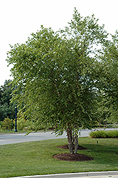 River Birch (clump) (Betula nigra '(clump)') at Millcreek Gardens