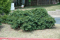 Spreading English Yew (Taxus baccata 'Spreading') at Millcreek Gardens